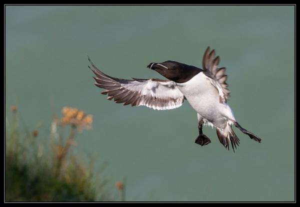 Razorbill landing by mjparmy