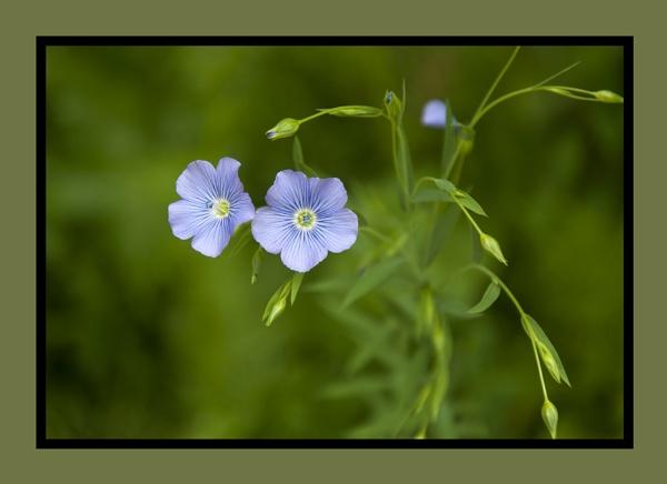 Perennial Flax by SmartAS