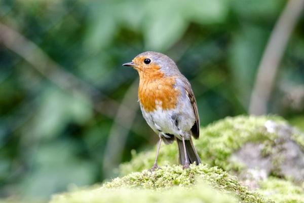 Robin by Gavin_Duxbury