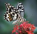 Common Lime (Papilio demoleus) by jasonrwl