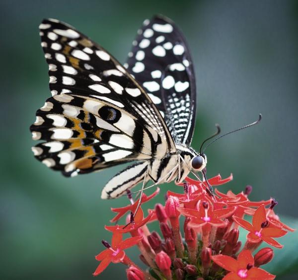 Common Lime (Papilio demoleus)
