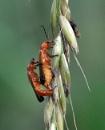 Soldier Beetles by tonyng