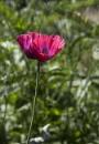 Poppy - Culross by Irishkate