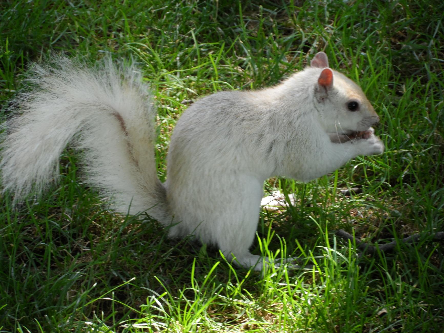 An Albino Squirrel in Boston Commons Park