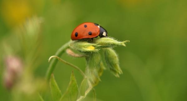 Ladybird in meadow by georgiepoolie