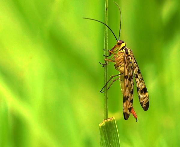 Scorpion fly 2 by georgiepoolie