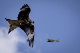 red kites at grigrin farm.