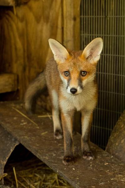 Rescued fox cub posing by Johnsodav