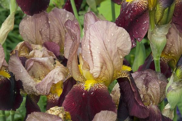 nice iris by binder1