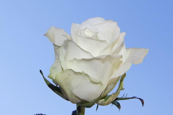 white rose by binder1