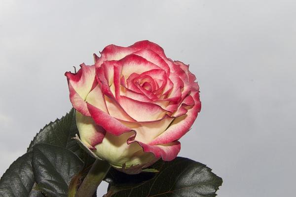 beautiful rose by binder1