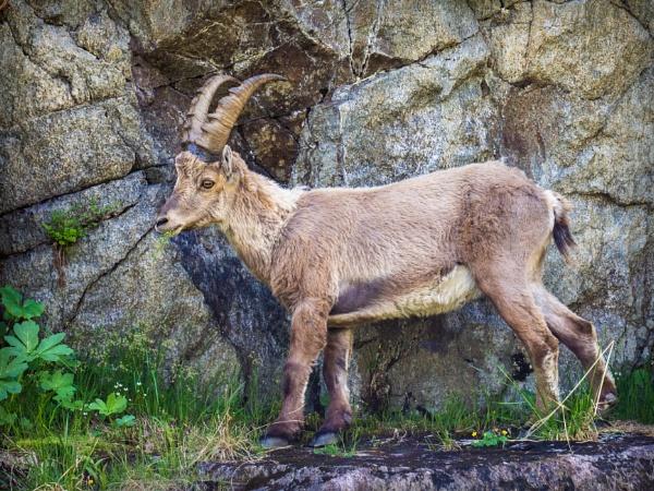 Ibex by bwlchmawr