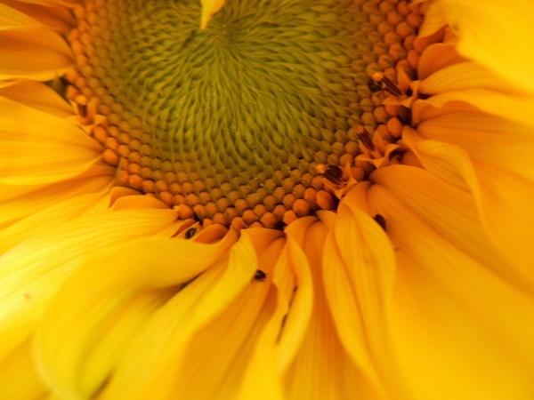 vivid sunflower by jenny007