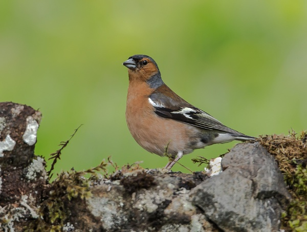 Male Chaffinch by RobertTurley