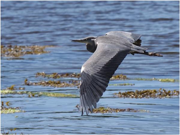 Heron in Flight by johnriley1uk