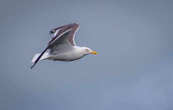 Gull in flight by billmyl
