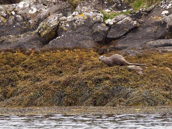 A Hebridean Meandering VII - Otter in Loch Skiport by hrsimages