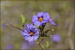 Potato bush (Solanum spp )