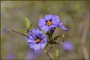 Potato bush (Solanum spp ) by fotobee