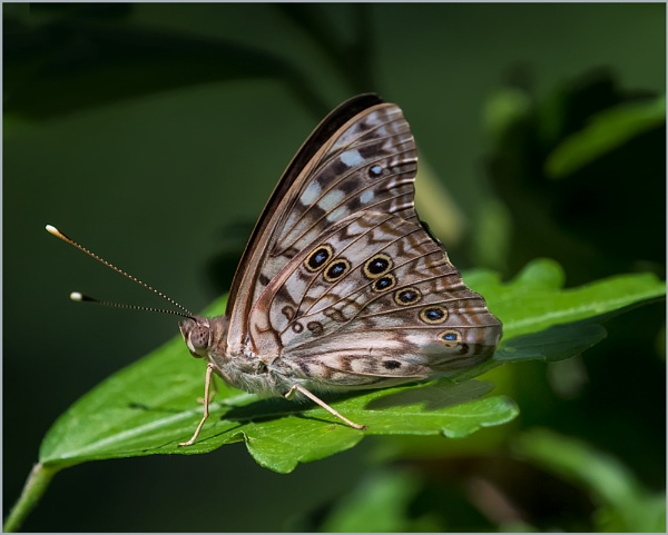 The Hackberry Butterfly by taggart