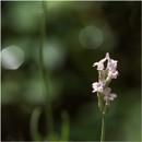 Little Bit of Lavender by taggart