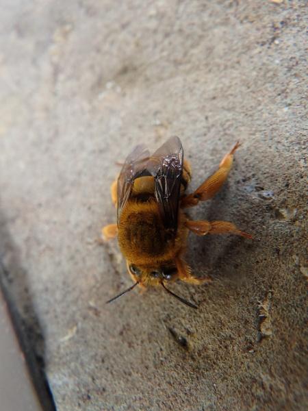 Rare Bee