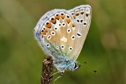 Common Blue-Polyommatus icarus