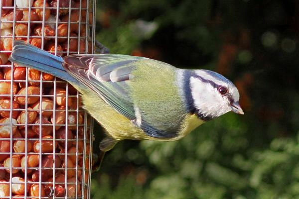 Blue Tit--Parus caeruleus by bobpaige1