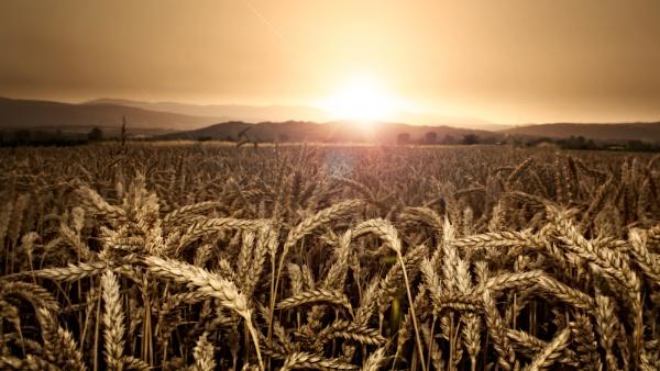 Wheat Fields by MileJanjic