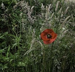 Poppy in the long grass