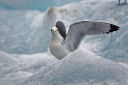 Gloucous Gull