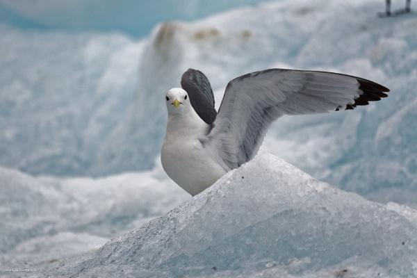 Gloucous Gull by Zeevkirshenboim