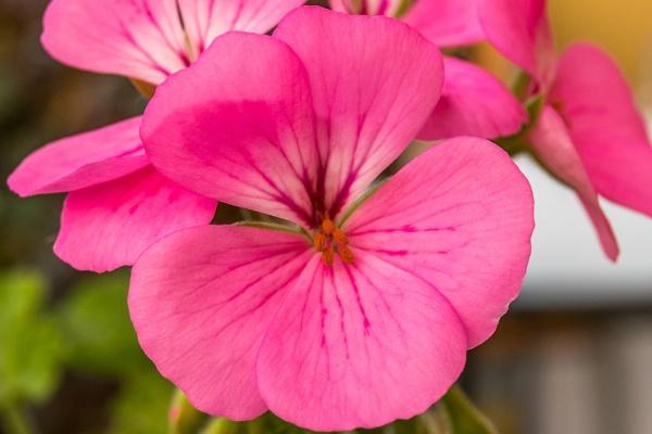 Pink Geranium by geoffgt