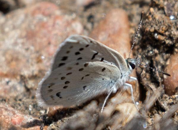 Karner Blue Butterfly by Janetdinah