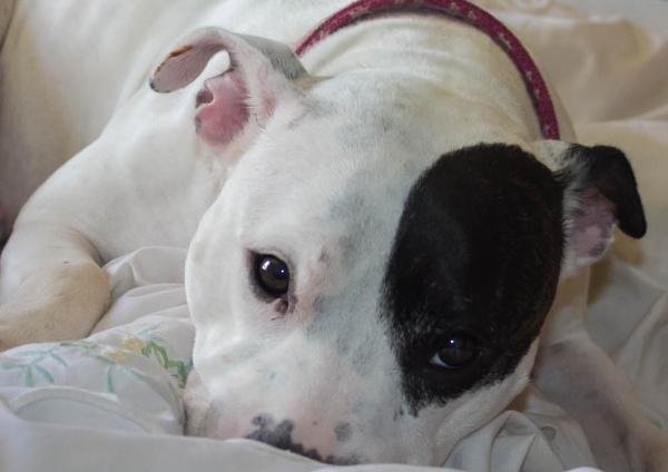 Roxy my pet Staffi by ach
