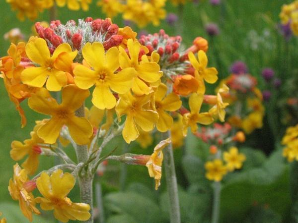 Beautiful Primula Candelabra by yvonnehart