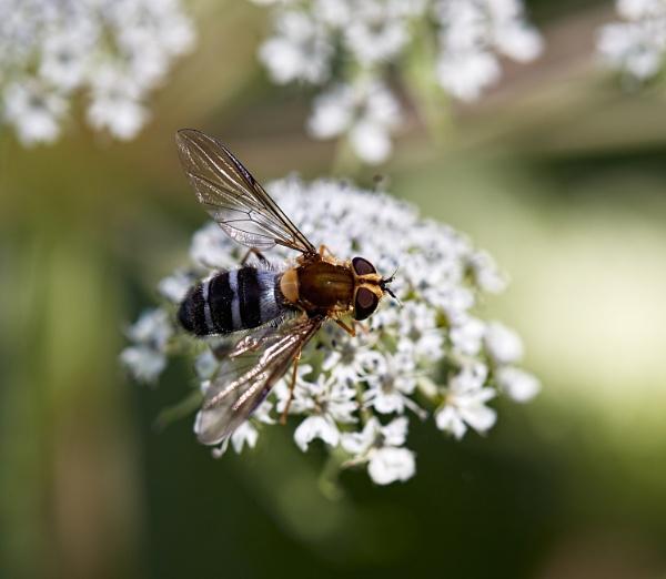 Hoverfly by glenalva