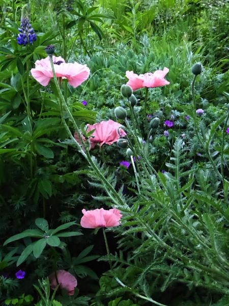 Poppy Patch by Joline