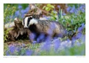 Badger in the Bluebells by running_man