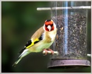 Goldfinch by Sylviwhalley