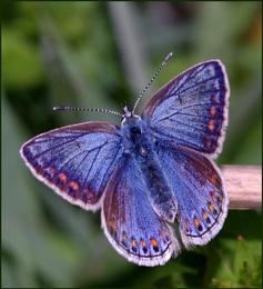 Common Blue(f).