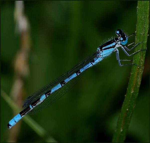 Common Blue Damselfly-Enallagma cyathigerum. by Badgerfred