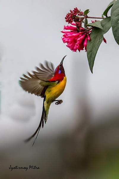 Mrs Gould Sunbird by jyotirmoy