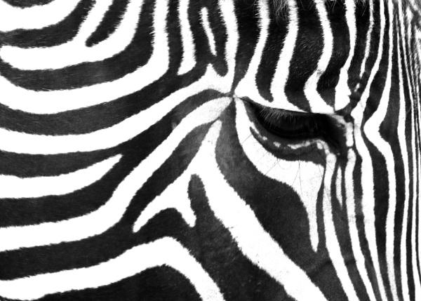 Zebra by jonnydart