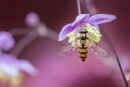 Hoverfly resting on Meadow rue by MandyD