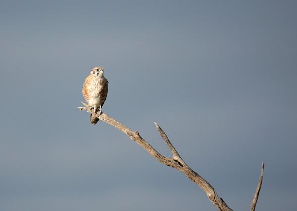 Juvenile Brown Falcon by boydmace