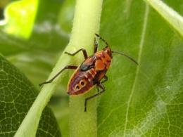 Cretan Firebug