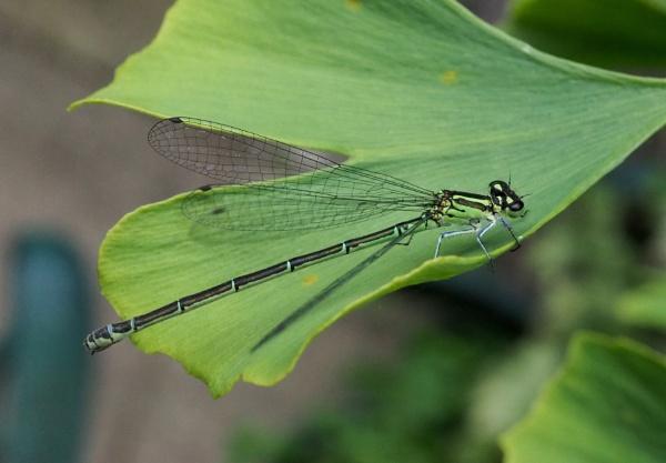 Emerald Damselfly by nclark