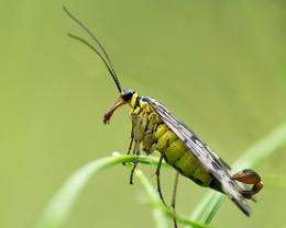 male Scorpion Fly