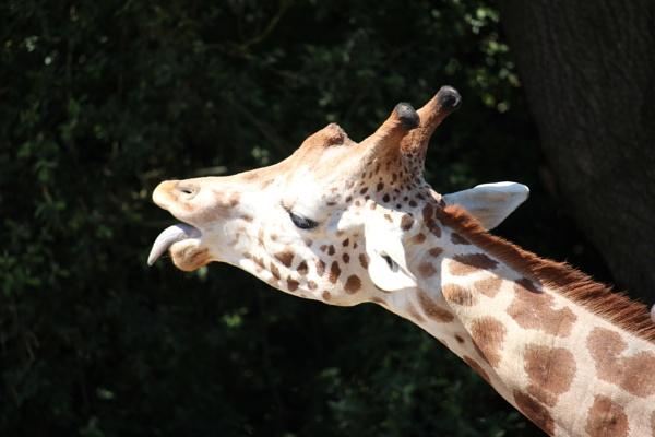 Giraffe by Beth22